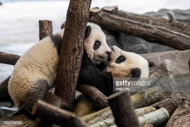 Fivemonthold twin panda cubs Meng Xiang and Meng Yuan both male play during a media opportunity at Zoo Berlin on January 29 2020 in Berlin Germany...