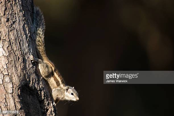 Five-striped palm squirrel