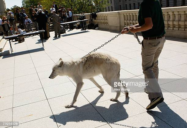 Fiveyearold Arctic Gray Wolf Atka arrives with Maggie Howell Managing Director of Wolf Conservation Center for a news conference to introduce the...