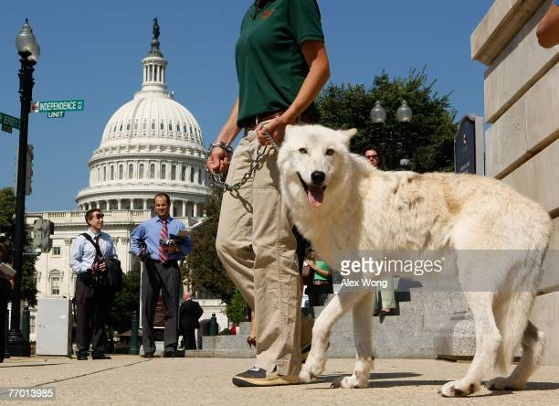 Fiveyearold Arctic Gray Wolf Atka leaves with Maggie Howell Managing Director of Wolf Conservation Center after a news conference to introduce the...