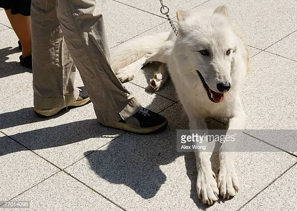 Fiveyearold Arctic Gray Wolf Atka sits at a news conference to introduce the 'Protect America's Wildlife Act' on Capitol Hill September 25 2007 in...