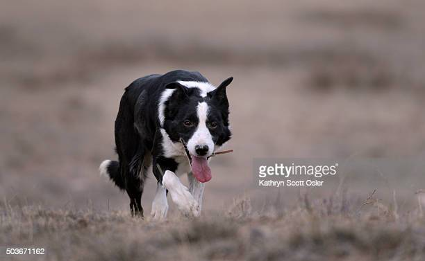 Fiveyearold border collie Zoe trots back to owner Bob Wagner after herding a group of Charolais cattle Bob Wagner breeds and trains border collies...
