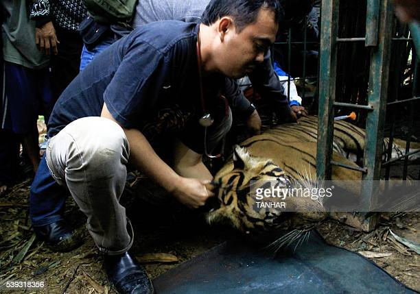A fiveyearold female Sumatran tiger is evacuated by rangers and villagers from the forest in the hills of Timbulun Aia Tajun in Pesisir Selatan...