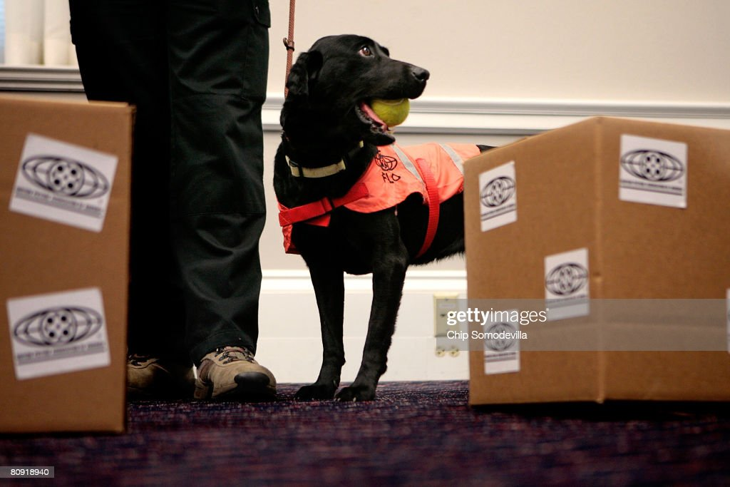 Five-year-old labrador Flo is rewarded with a tennis ball after the dog succesfully found counterfeit movies during a demonstration of her ability to sniff out optical discs, like DVDs and CDs, on Capitol Hill April 29, 2008 in Washington, DC. The Motion Picture Association of America employed Flo and her partner Lucky's ability to sniff out discs made of polycarbonate to locate about $3.5 million in pirated discs in Malaysia earlier this year. When attempts to mask the discs with charcoal failed, the pirates put a bounty on the dogs' heads of 100,000 Malaysian Ringgit, or about $30,000.