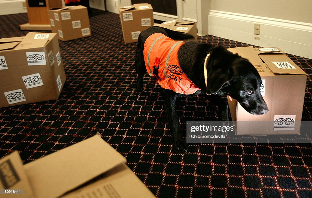 Five-year-old labrador Lucky searches several boxes while searching for the one that holds counterfeit movies during a demonstration of her ability to sniff out optical discs, like DVDs and CDs, on Capitol Hill April 29, 2008 in Washington, DC. The Motion Picture Association of America employed Lucky and her partner Flo's ability to sniff out discs made of polycarbonate to locate about $3.5 million in pirated discs in Malaysia earlier this year. When attempts to mask the discs with charcoal failed, the pirates put a bounty on the dogs' heads of 100,000 Malaysian Ringgit, or about $30,000.