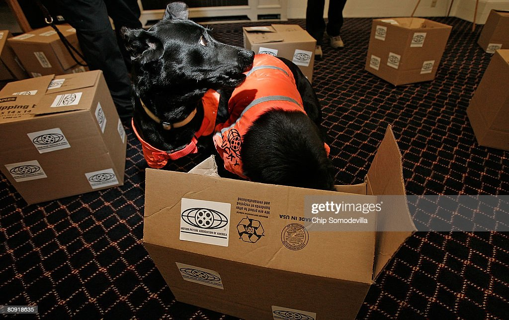 Five-year-old labradors Flo (L) and Lucky correctly choose which box of several holds a counterfeit movies during a demonstration of their ability to sniff out optical discs, like DVDs and CDs, on Capitol Hill April 29, 2008 in Washington, DC. The Motion Picture Association of America employed Flo and her partner Lucky's ability to sniff out discs made of polycarbonate to locate about $3.5 million in pirated discs in Malaysia earlier this year. When attempts to mask the discs with charcoal failed, the pirates put a bounty on the dogs' heads of 100,000 Malaysian Ringgit, or about $30,000.