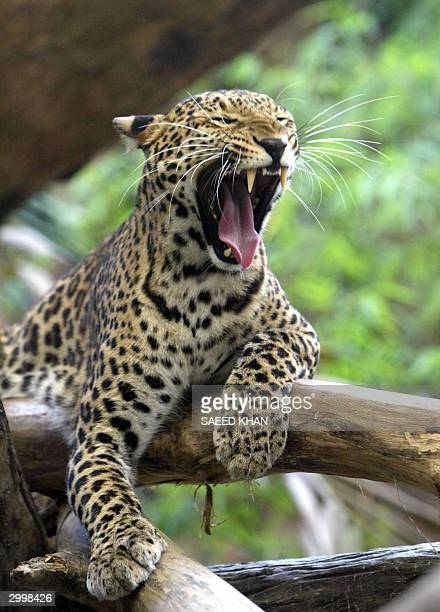 A fiveyearold male clouded leopard yawns in its compound at Khao Kheow Open Zoo in east of Bangkok 20 February 2004 A clouded leopard in the zoo had...