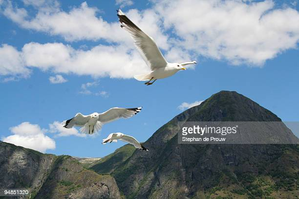 fjord gulls - stephan de prouw stock pictures, royalty-free photos & images