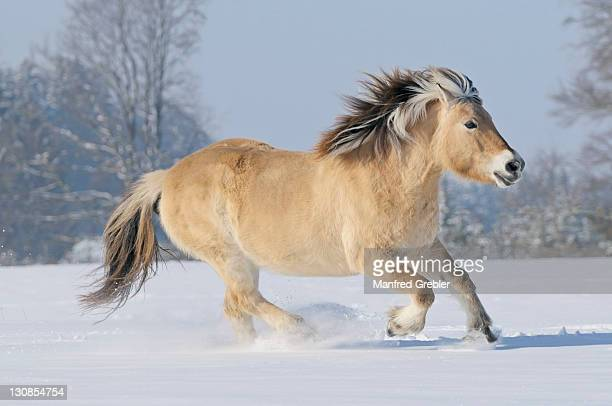 fjord horse or norwegian fjord horse running in the snow - vista lateral stock pictures, royalty-free photos & images