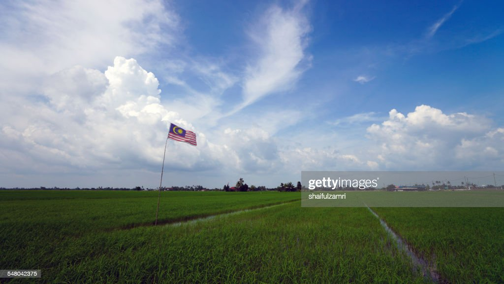 Flag at paddy field : Stock Photo
