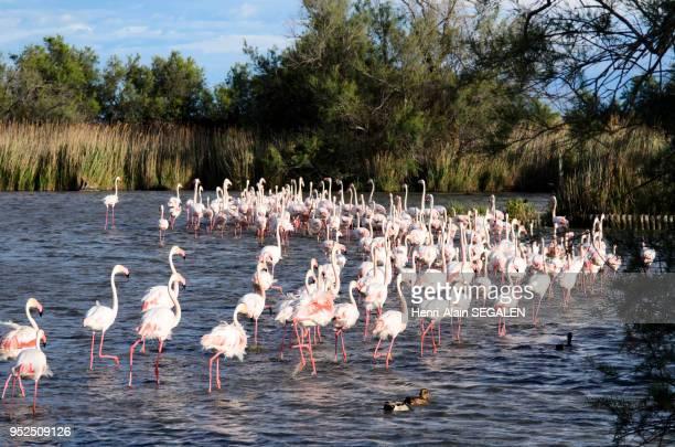 Flamants roses du Parc Ornithologique de Pont de Gau en Camargue Bouches du Rhone France