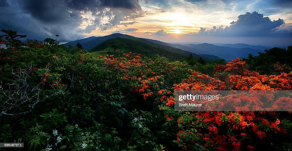 Flame Azaleas on the Appalachian Trail at sunset : Stock Photo