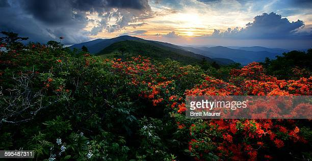 flame azaleas on the appalachian trail at sunset - appalachian trail stock pictures, royalty-free photos & images