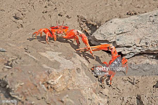 Flame Fiddler Crab. Fighting to show dominance.