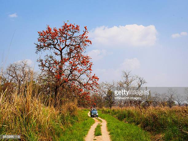 flame of the forest tree in chitwan, nepal - terai stock pictures, royalty-free photos & images