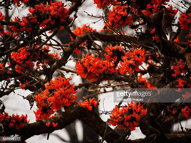 flame of the forest tree in lowland nepal - terai stock pictures, royalty-free photos & images