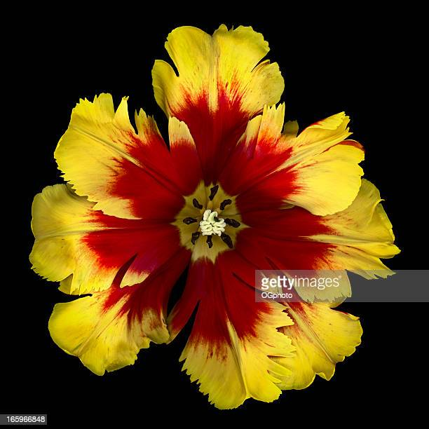 flame tulip - ogphoto stock pictures, royalty-free photos & images