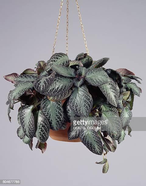 Flame violet Gesneriaceae