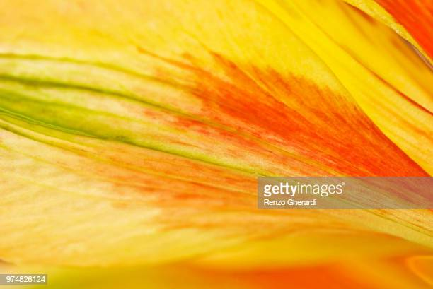 flamed flower - renzo gherardi stock photos and pictures