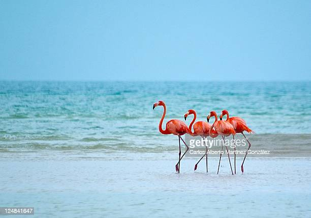 flamencos - quintana roo stock pictures, royalty-free photos & images