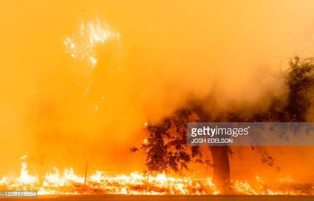 Flames and smoke overtake a tree as the LNU Lightning Complex fire continues to spread in Fairfield, California on August 19, 2020. - Thousands of...
