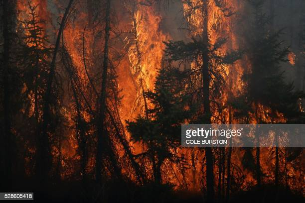 Flames engulf trees along a highway near Fort McMurray Alberta on May 6 2016 Canadian police led convoys of cars through the burning ghost town of...