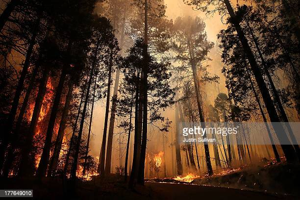 Flames from the Rim Fire consume trees on August 25 2013 near Groveland California The Rim Fire continues to burn out of control and threatens 4500...