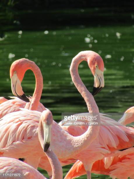 flamingo against river - small group of animals stock pictures, royalty-free photos & images