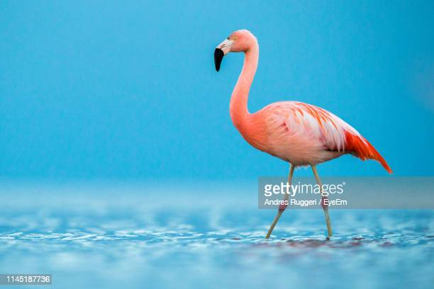flamingo at beach - flamingo stock photos and pictures