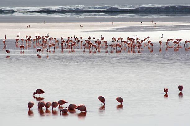 Flamingo At Laguna Colorada Wall Art