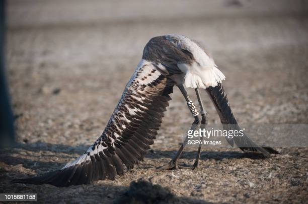 A flamingo chick is seen trying to fly during a drive to control evaluate and identify flamingo chicks for their conservation at Fuente de Piedra...