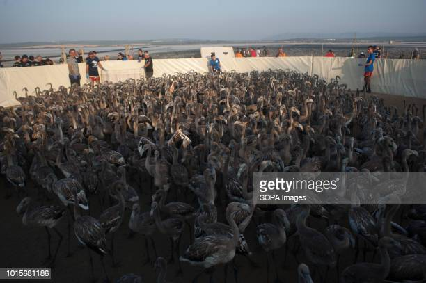 Flamingo chicks are seen inside a corral during a drive to control evaluate and identify flamingo chicks for their conservation at Fuente de Piedra...