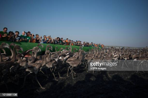 Flamingo chicks are seen running during a drive to control evaluate and identify flamingo chicks for their conservation at Fuente de Piedra Lake in...