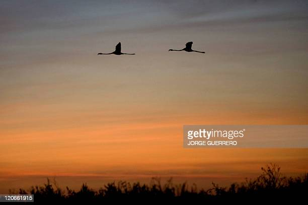 Flamingo chicks fly over the Fuente de Piedra lake 70 kms from Malaga on August 6 as volunteers nearby participate in a tagging and control operation...