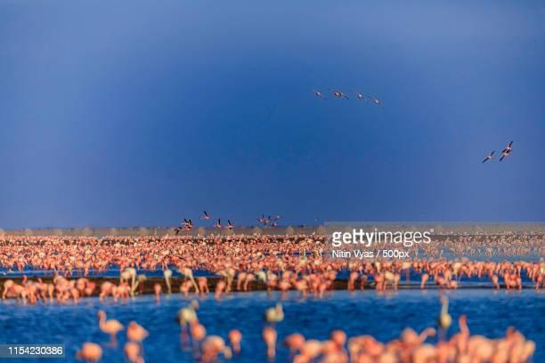 flamingo county - lake nakuru - fotografias e filmes do acervo