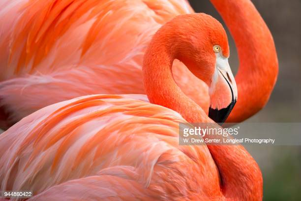 flamingo curves - flamingo stock photos and pictures