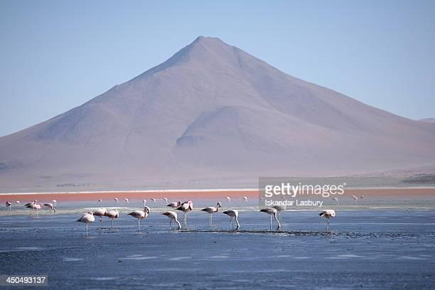 CONTENT] Flamingo feeding at Laguna Colorada near the salt flats of Salar de Uyuni in Bolivia