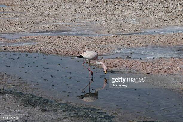 A flamingo feeds at the Chaxa lagoon part of the Los Flamencos National Reserve in Salar de Atacama Chile on Friday June 3 2016 The average number of...
