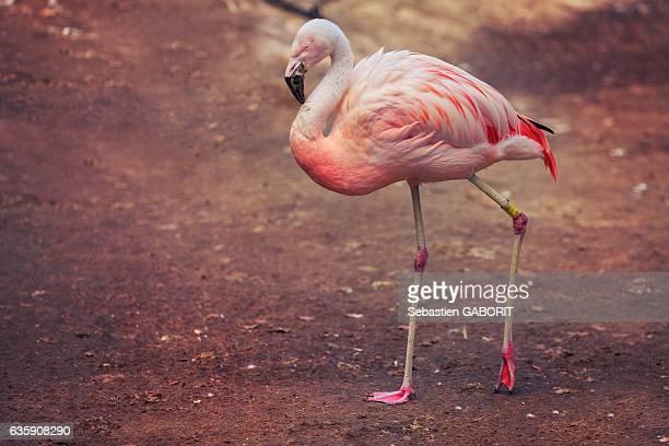 Flamingo / Flamant Rose.