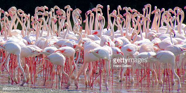 flamingo flock, ras al khor sanctuary, dubai - frans sellies stockfoto's en -beelden