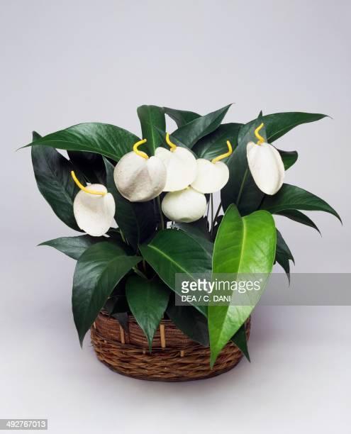 Flamingo flower Araceae