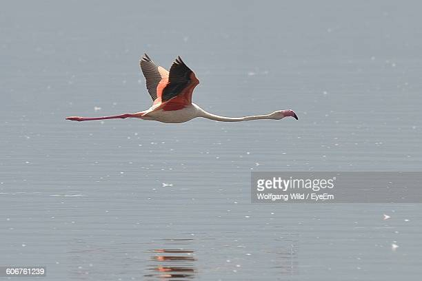 Flamingo Flying Over Lake