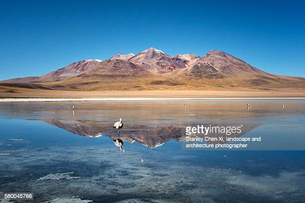 Flamingo in Bolivia Plateau area