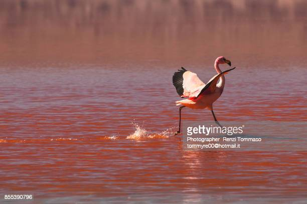 Flamingo in the Laguna Colorada , Bolivia