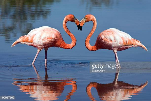 flamingo making a heart shape  - flamingo heart stock pictures, royalty-free photos & images