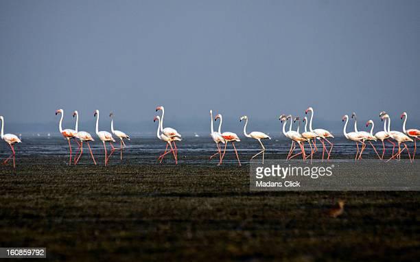 Flamingo March