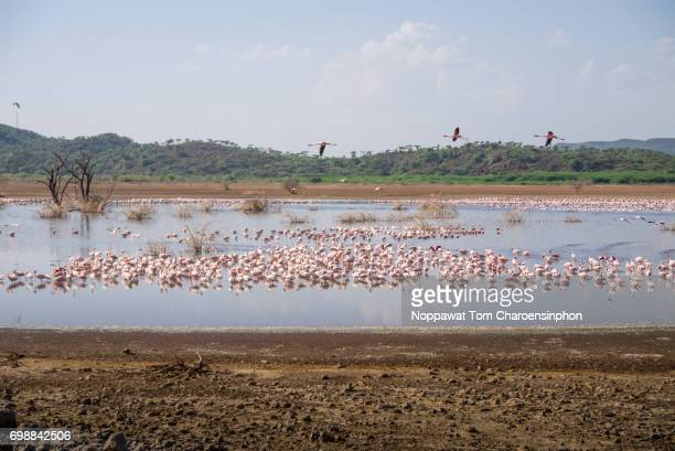 Flamingo of Lake Bogoria, Kenya, Africa