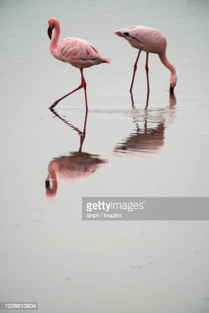 flamingo of walvis bay - walvis bay stock photos and pictures