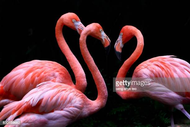 3 flamingo on black - flamingo stock photos and pictures