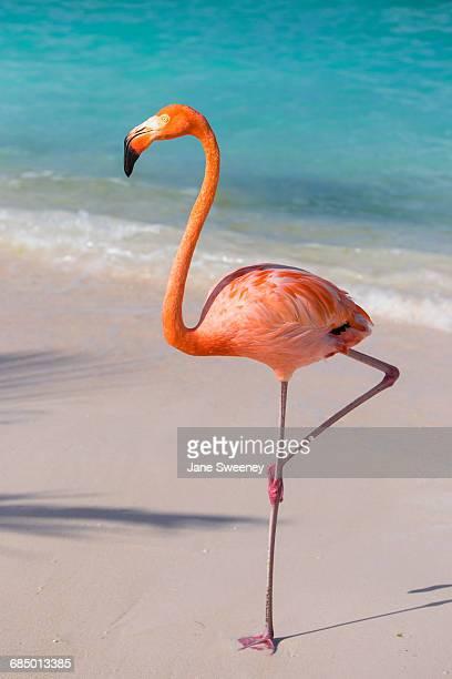flamingo on flamingo beach, renaissance island, oranjestad, aruba, lesser antilles, netherlands antilles, caribbean, central america - flamant rose photos et images de collection
